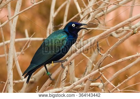 Close Up Of A Purple And Green Asian Glossy Starling Bird (aplonis Panayensis) Perched On A Dry Bran