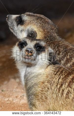 A Pair Of Meerkats Close Up Looking For Food In The Desert (suricata Suricatta).