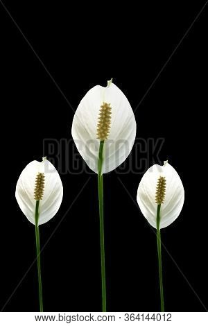 Anthurium Plowmanii Croat Leaf Tropical Isolated On White Background With Clipping Path. Hd Image An