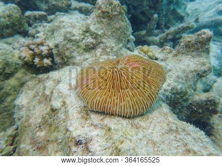Mushroom Coral Species In The Tropical Coral Reefs