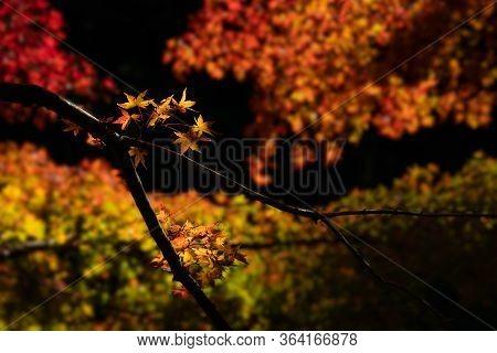 A Beautiful Japanese Maple Tree Taken In The Autumn Season In Kyushu, Japan