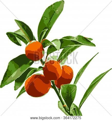 Close Up Kumquat Fruits And Leaves In Nature