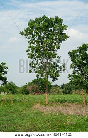 Outstanding Tree Grows In The Field And Isolated On Blue Sky Background