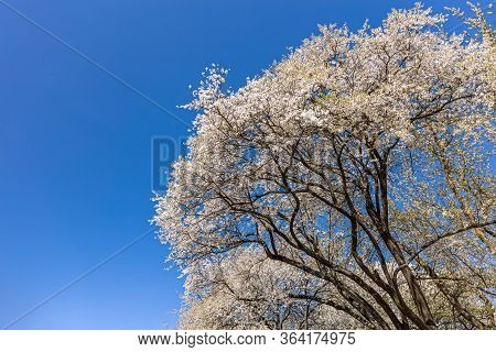 Branches Of Flowering Cherry Against Blue Sky. White Cherry Blossom. Spring Background.
