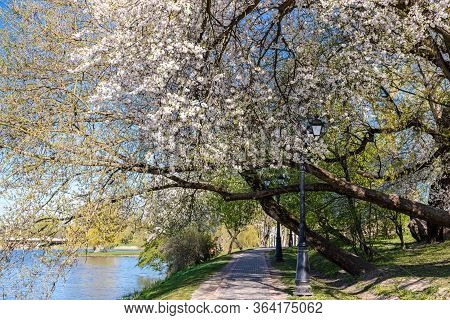 Footpath On Riverbank Under Blooming White Cherry Trees. Beautiful Landscape Of Public Park In Sprin