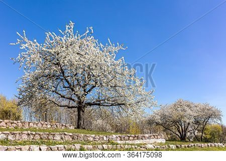 Blooming Cherry Trees With White Flowers In Spring Season On A Hill Against Blue Sky