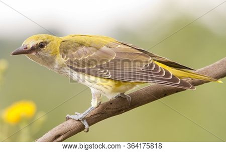 Young Oriole Sitting On A Branch And Posing For A Photographer