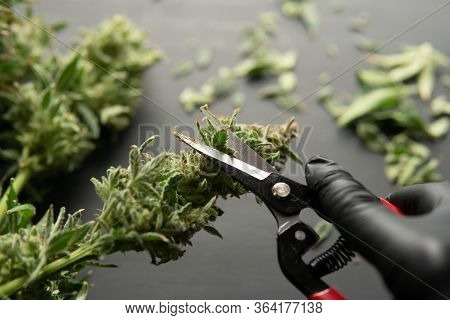 Growers Trim Their Pot Buds Before Drying. Trim Before Drying. Growers Trim Cannabis Buds.