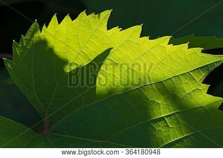 Insolated Serrated Green Leaf  Closeup On Dark Green Floral Background .  Using As Summer Or Spring