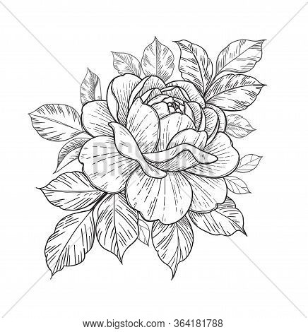 Hand Drawn Rose Flower Head And Leaves Isolated On White Background. Vector Line Art Monochrome Eleg
