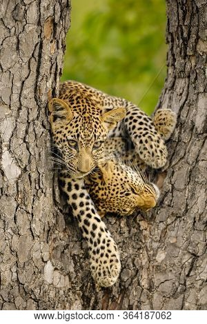 This Photograph Of Two Young Leopard Cubs Playing In A Tree, Was Taken At Sabi Sands Game Reserve In