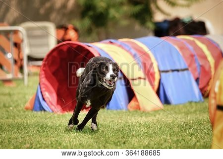 Black And White Border Collie In Agility Tunel On Ratenice Competition. Amazing Day On Czech Agility