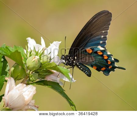 Pipevine Swallowtail butterfly feeding on a Hibiscus flower