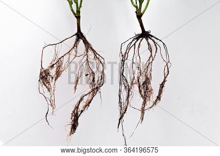 Healthy Roots Of A Young Plant Ready For Planting.