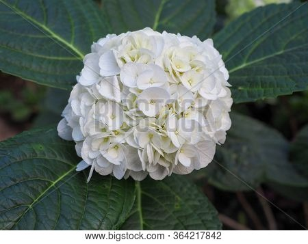Close Up Of White And Pale Blue Hydrangea Flower.