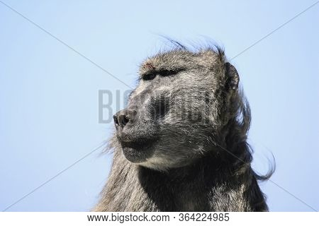 Portrait Of A Dominant Male Baboon With A Broken Eyebrow
