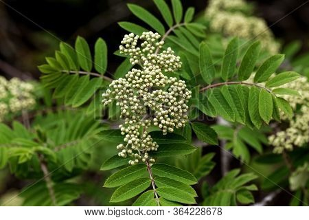 Blossoms Of A Rowan Tree, Sorbus Aucuparia