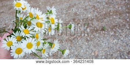 First Daisies In Their Natural Background: On The Green Fresh Meadow