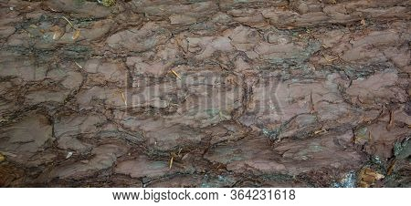 Fresh Cut Pine Tree: Wooden Background. The Structure Of The Tree
