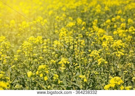 Scenic Rural Landscape Flowering, Blooming Oilseed Rape Field, Ready For Harvest, Rapeseed Oil