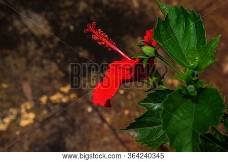 Side View Of Red Hibiscus Or Rose Mallow Flower
