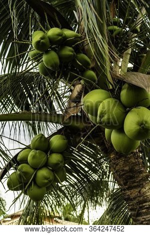 Posy Of Coconuts On A Palm Tree. Round Fruit Of Green Color With Water Inside. Nutritious Food Of Ve