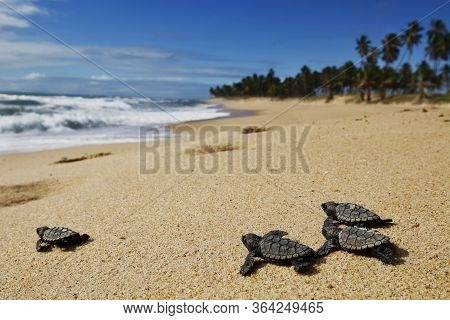 Group Of Hatchling Hawksbill Sea Turtle (eretmochelys Imbricata) Crawling On The Sand At The Beach T