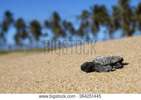 Hatchling Loggerhead Sea Turtle (caretta Caretta) Crawling On The Sand To The Sea After Leaving The