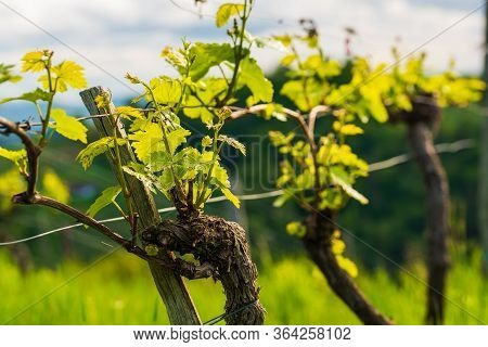 Crops Of Grape Plants Cultivated For Wine. Spring Time In Austrian Vineyards. South Styria Tourist S
