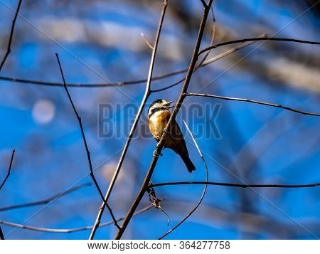 A Varied Tit, Sittiparus Varius, Perches In A Tree In A Japanese Forest Park In Kanagawa Prefecture,