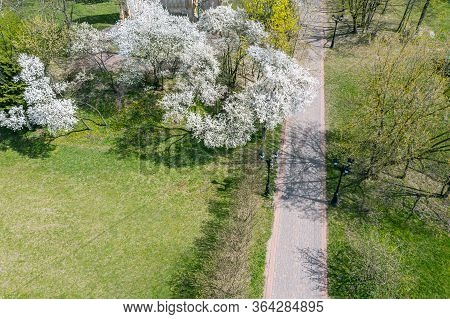 Park In Springtime Cherry Blossom Season. Aerial View In Sunny Day
