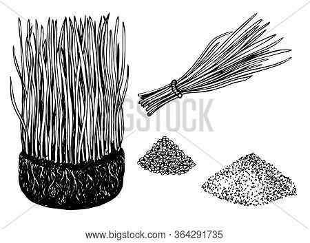 Bundle Of Wheat Grass And Cocktail Of Juice Wheat Grass. Barley Grass And Powder Sketch Drawing. Vec