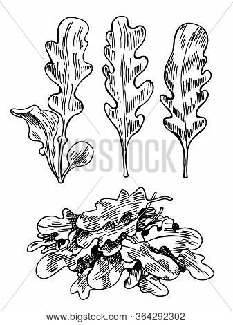 Hand Drawn Sketch Arugula. Organic Fresh Food Vector Illustration Isolated On White Background. Retr