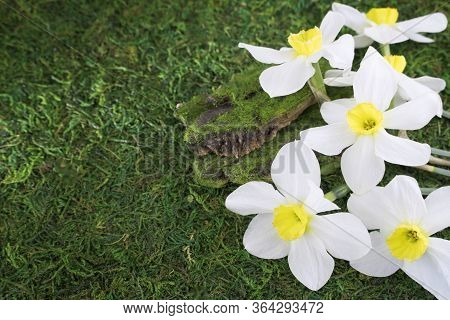 Fresh White Daffodils On A Background Of Green Grass, Moss. Bouquet Of Daffodils. Spring Flowers. Ba