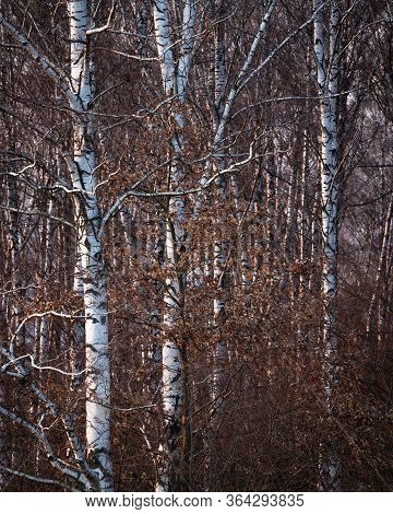 Silver Birch Forest In Turiec Region, Slovakia.