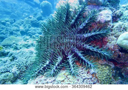 Crown Of Thorns Starfish - Acanthaster Planci - The World Largest Starfish , Predator Of Hard Corals