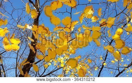 Tree Branches With Bright Yellow Leaves On Blue Sky Background. Autumn Sunny Day
