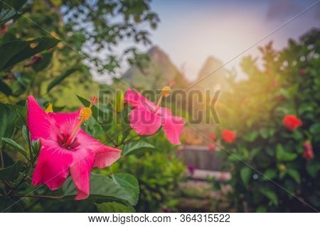 Selective Focus Shot Of Beautiful Pink Mandrinette Hibiscus Fragilis Flowers In A Garden With Cliffs