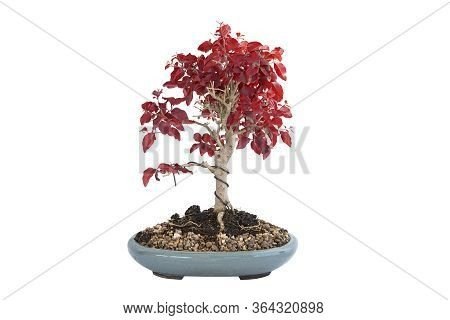 Chinese Privet Bonsai In Autumn Colors, Isolation Over White Background For Your Design ( Ligustrum