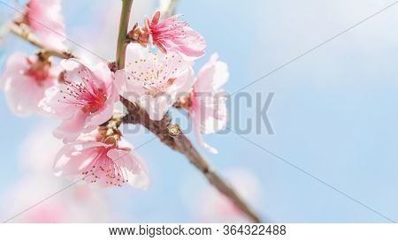 Beginning Of Spring Blooming Downy Peach Buds Pink Colors