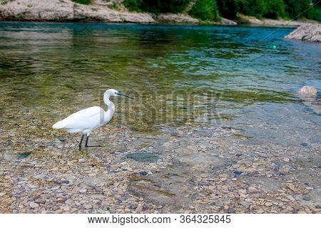 A White Heron In The River Is Hunting Fish. Mostar, Bosnia And Herzegovina
