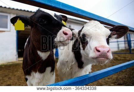 Calf At Dairy Farm Cow Pennsylvania Holstein Cute Baby Animal