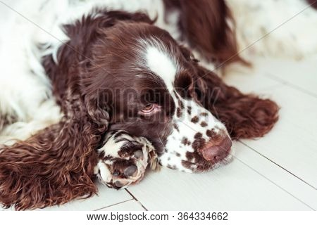 Sad Dog Breed English Springer Spaniel Is Lying Down On The Floor And Waiting For His Family, The Ow