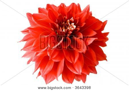 Isolated Red Dahlia