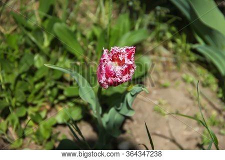 Tulipa Fully Blossomed In The Spring Garden.