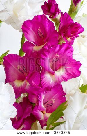 Isolated Purple Gladiolus