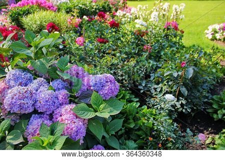 Pink And Blue Hydrangea Blooms In A Flower Bed, Inflorescences In The Shape Of A Ball, On The Backgr
