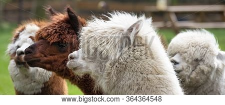Four Alpacas, In Panorama, A White Alpaca In Front Of White And Brown Alpacas. Selective Focus On Th
