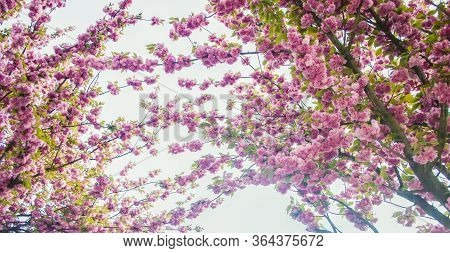 Sakura Cherry Flower Blossom In Spring. Spring Floral Branch. Beautiful Flowers On A Tree Branch. Sp
