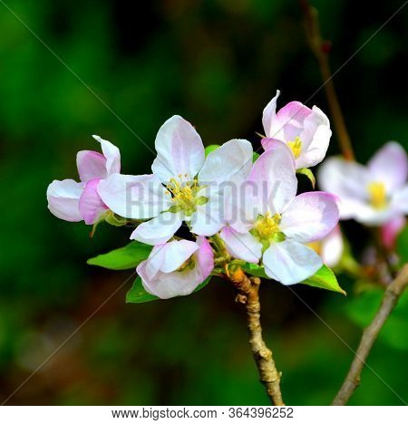 Cherry Tree. Nice Flower In Early Spring. The First Flowers Appear In Spring Season